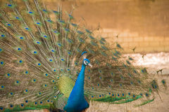 Imagem dos pavões que mostram penas bonitas Imagem de Stock
