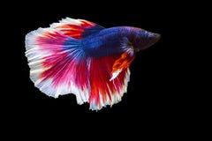 imagem dos peixes do betta isolados no fundo preto, mover-se da ação Fotos de Stock