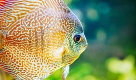 Imagem dos peixes exóticos bonitos que nadam debaixo d'água imagem de stock