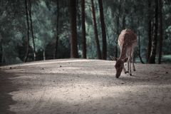 Imagem dos veados vermelhos na paisagem da floresta do outono imagem de stock