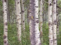 Imagem empilhada foco de um bosque de Aspen Trees In Waterton Nation Fotos de Stock Royalty Free