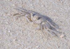 Imagem empilhada foco do close up de um caranguejo novo de Ghost em uma praia branca bonita da areia imagem de stock