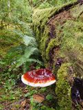Imagem empilhada foco do cogumelo da prateleira em uma árvore caída musgoso Imagens de Stock Royalty Free