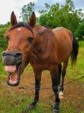Imagem engraçada de um cavalo que ri e que mostra seus dentes fotografia de stock royalty free