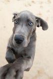 Imagem engraçada de um filhote de cachorro do grande dinamarquês Fotografia de Stock