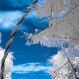 Imagem infravermelha das folhas e do céu nebuloso na cor falsa Imagens de Stock