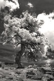 Imagem infravermelha do preto e da tinta no treet solitário de Colorado Fotos de Stock Royalty Free