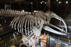 Imagem interior de um esqueleto da baleia Fotografia de Stock