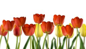 Imagem isolada do close-up bonito, festivo das flores Fotos de Stock Royalty Free