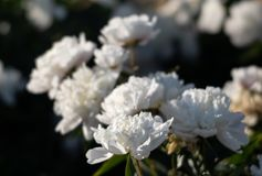 Imagem macia do foco de peônias brancas de florescência Imagem de Stock Royalty Free