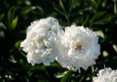 Imagem macia do foco de peônias brancas de florescência Fotos de Stock Royalty Free