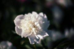 Imagem macia do foco de peônias brancas de florescência Fotografia de Stock Royalty Free