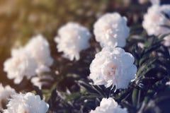 Imagem macia do foco de peônias brancas de florescência Foto de Stock Royalty Free