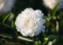 Imagem macia do foco de peônias brancas de florescência Imagens de Stock