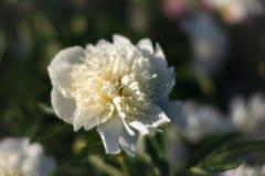Imagem macia do foco de peônias brancas de florescência Fotos de Stock