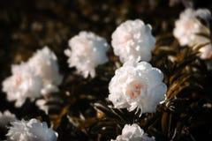 Imagem macia do foco de peônias brancas de florescência Fotografia de Stock