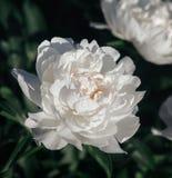 Imagem macia do foco de peônias brancas de florescência Foto de Stock