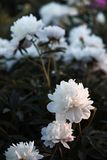 Imagem macia do foco de peônias brancas de florescência Imagem de Stock