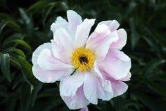 Imagem macia do foco de peônias brancas de florescência Imagens de Stock Royalty Free