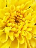 Imagem macro da flor amarela foto de stock royalty free