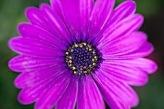 Imagem macro da flor violeta da mola, fundo floral macio abstrato Imagens de Stock Royalty Free