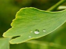 Imagem macro da folha da árvore do gingko Fotos de Stock