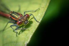 Imagem macro da mosca vermelha da donzela da parte dianteira imagem de stock