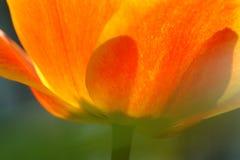 Pétalas de uma tulipa alaranjada e amarela fotos de stock royalty free