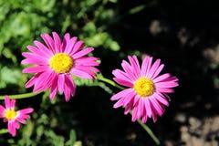 Imagem macro de duas flores com pétalas vermelhas e núcleos amarelos foto de stock