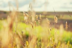 Imagem macro de gramas selvagens em um campo Imagens de Stock Royalty Free