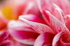 Imagem macro de uma flor cor-de-rosa Foto de Stock Royalty Free