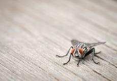 Imagem macro de uma mosca com olhos alaranjados Imagens de Stock