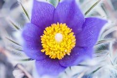 Imagem macro do açafrão violeta, profundidade de campo pequena Imagem de Stock Royalty Free