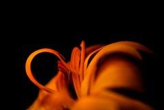 Imagem macro do Calendula alaranjado (cravo-de-defunto) foto de stock royalty free
