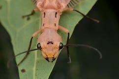 Imagem macro do Dobsonfly de Bornéu Fotografia de Stock