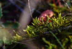 Imagem macro do musgo verde na terra da floresta imagem de stock royalty free