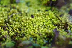 Imagem macro do musgo verde na terra da floresta fotografia de stock royalty free