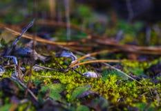 Imagem macro do musgo verde na terra da floresta foto de stock royalty free