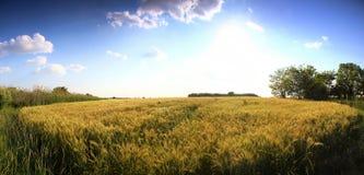 Imagem panorâmico de campos de trigo com o céu azul profundo Foto de Stock
