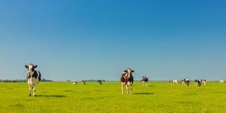 Imagem panorâmico de vacas de leite na província holandesa de Friesland fotografia de stock