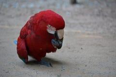Imagem próxima da arara vermelha Fotografia de Stock