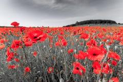 Imagem preto e branco com as papoilas de campo vermelhas Imagem de Stock