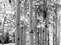 Imagem preto e branco de árvores de Aspen fotos de stock