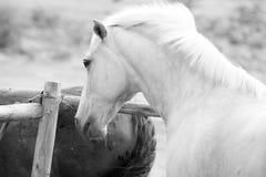 Imagem preto e branco de um cavalo de Palamino Imagens de Stock