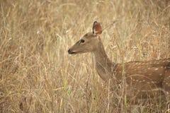 Imagem que caracteriza cervos na pastagem Foto de Stock Royalty Free