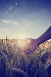 Imagem retro de uma mão que coloca o trigo sobre um campo Fotografia de Stock