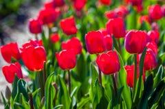 Imagem retroiluminada de florescer bulbos vermelhos brilhantes da tulipa do fim Fotos de Stock Royalty Free