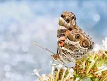 A imagem sonhadora de um americano pintou a borboleta da senhora, fotos de stock royalty free