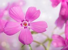 Imagem sonhadora de um flox cor-de-rosa bonito do rastejamento fotos de stock