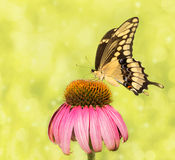 Imagem sonhadora de uma borboleta gigante de Swallowtail fotos de stock royalty free